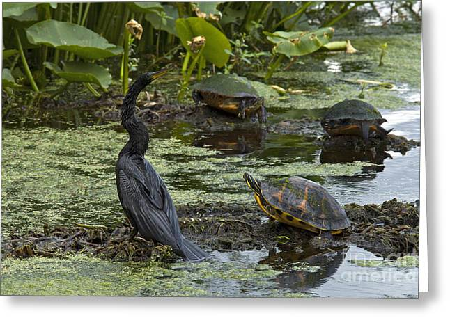 Florida Wild Turkey Greeting Cards - Turtles And Anhinga Greeting Card by Mark Newman