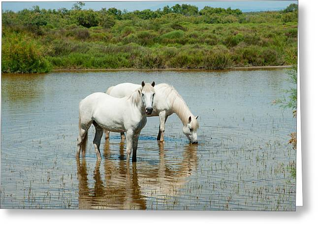 The Horse Greeting Cards - Two Camargue White Horses In A Lagoon Greeting Card by Panoramic Images