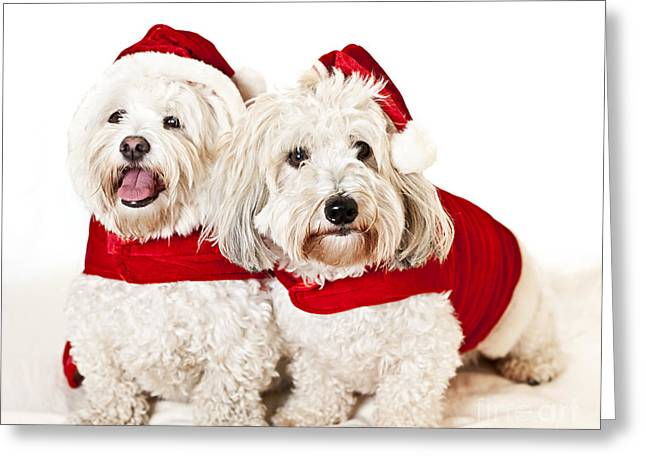 Dressed Up Greeting Cards - Two cute dogs in santa outfits Greeting Card by Elena Elisseeva
