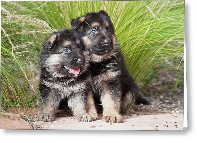 Two German Shepherd Puppies Sitting Greeting Card by Zandria Muench Beraldo