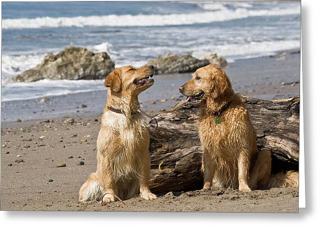 Two Golden Retrievers Sitting Together Greeting Card by Zandria Muench Beraldo