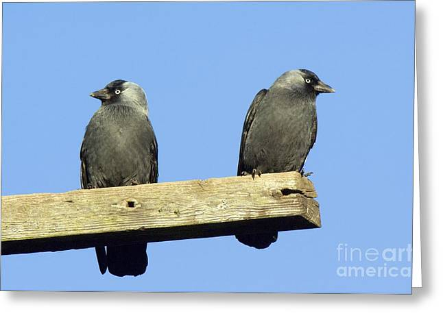 Jackdaws Greeting Cards - Two Jackdaws Greeting Card by Duncan Shaw
