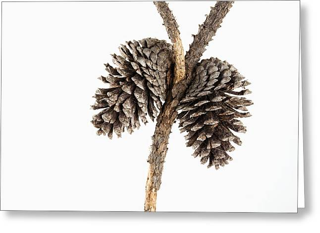 Pine Cone Greeting Cards - Two Pine Cones One Twig Greeting Card by Carol Leigh