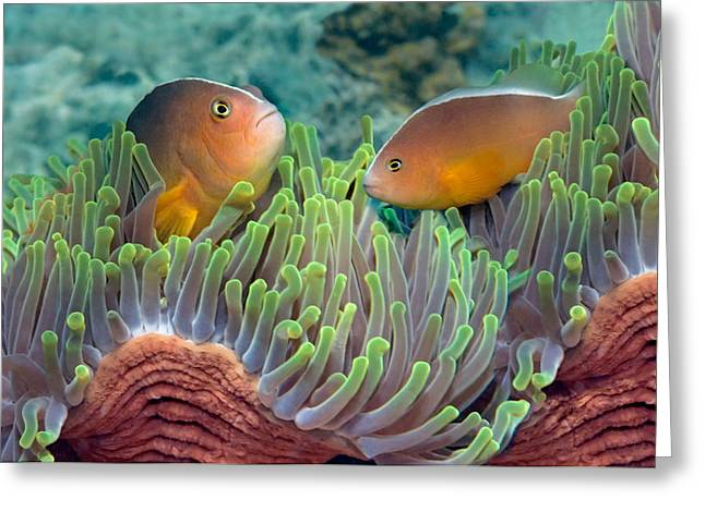 Two Fish Greeting Cards - Two Skunk Anemone Fish And Indian Bulb Greeting Card by Panoramic Images