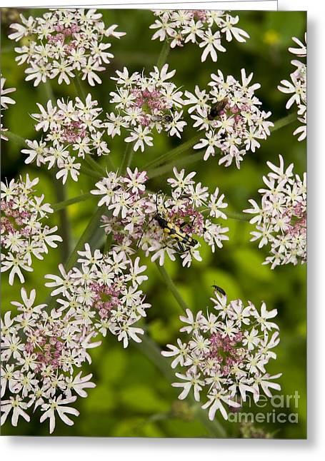 Upright Hedge-parsley Torilis Japonica Greeting Card by Adrian Bicker