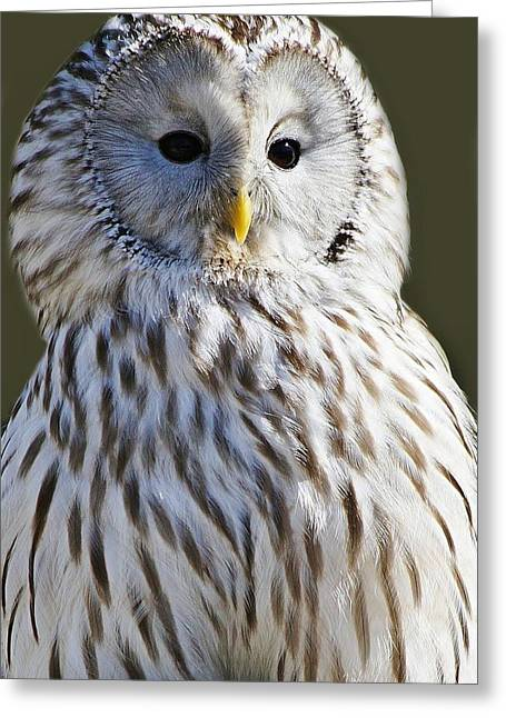 Paulette Thomas Photography Greeting Cards - Ural Owl Greeting Card by Paulette Thomas