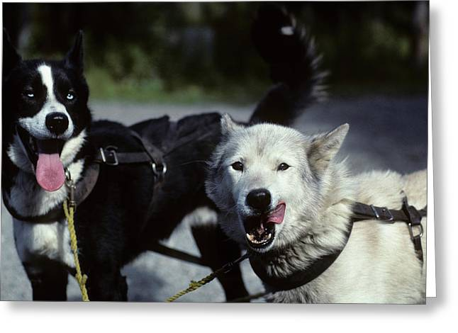 Usa, Alaska, Sled Dogs, Dog Sledding Greeting Card by Gerry Reynolds