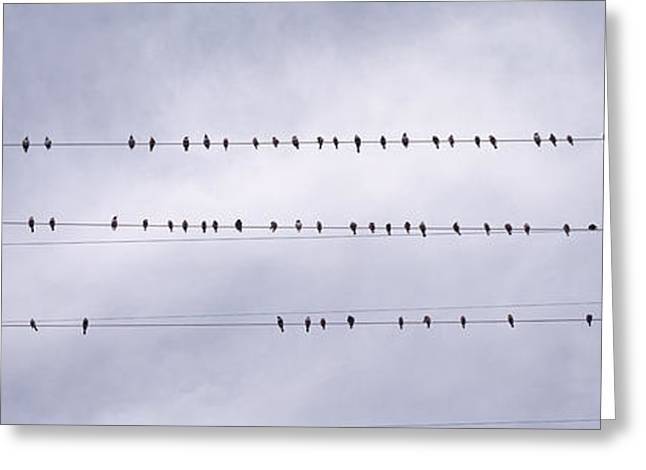 Conformity Greeting Cards - Usa, California, Flock Of Birds Sitting Greeting Card by Panoramic Images