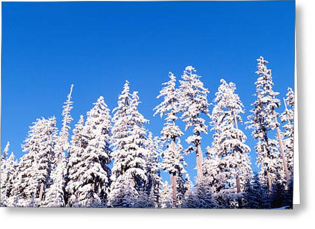 Winter Trees Greeting Cards - Usa, Oregon, Pine Trees, Winter Greeting Card by Panoramic Images