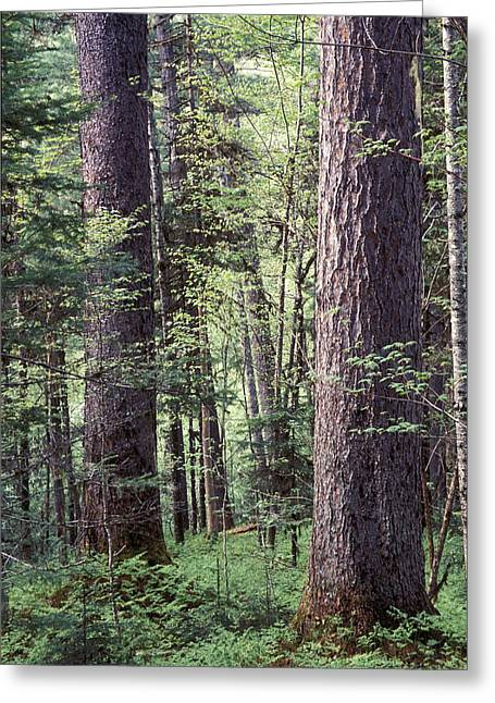 Far Greeting Cards - Ussurian taiga Greeting Card by Anonymous