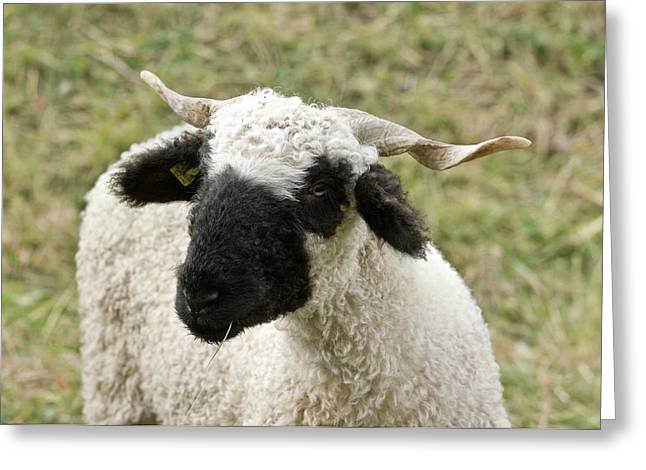 Valais Blacknose Sheep Grazing Greeting Card by Bob Gibbons