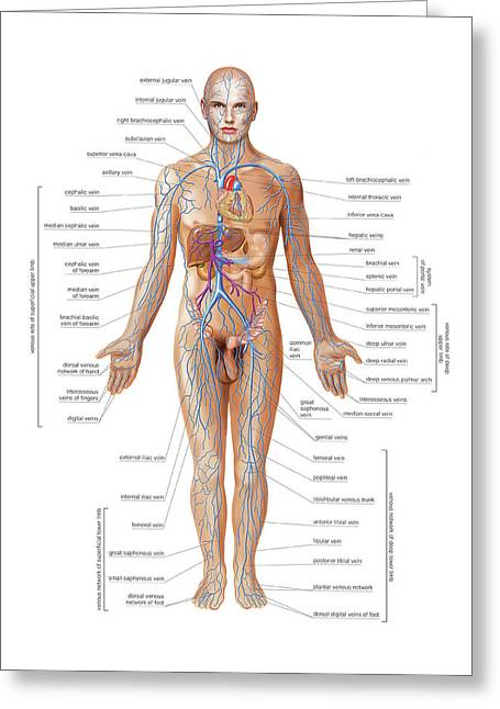 Venous System Greeting Card by Asklepios Medical Atlas