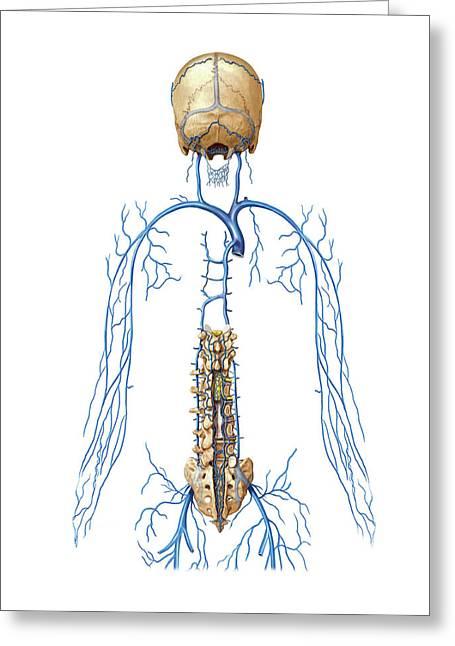 Venous System Of Vertebral Venous Plexus Greeting Card by Asklepios Medical Atlas