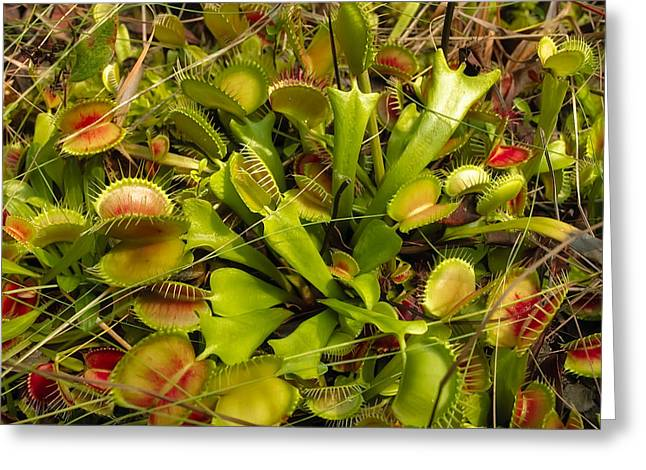 Caryophyllales Greeting Cards - Venus Flytrap Greeting Card by Rich Leighton