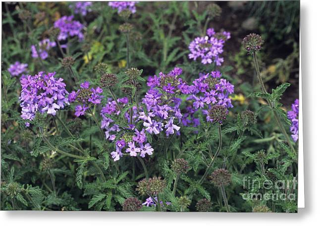 Loveliness Greeting Cards - Verbena Loveliness Greeting Card by Adrian Thomas