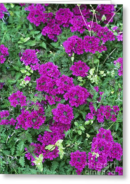 Rapunzel Greeting Cards - Verbena Rapunzel Purple Greeting Card by Adrian Thomas