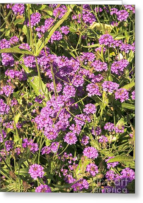 Verbena Greeting Cards - Verbena Rigida Greeting Card by Adrian Thomas