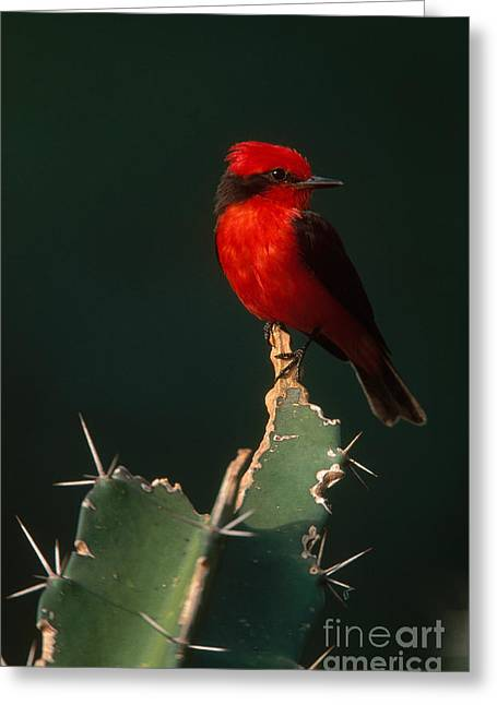 Vermilion Flycatcher Greeting Card by Art Wolfe