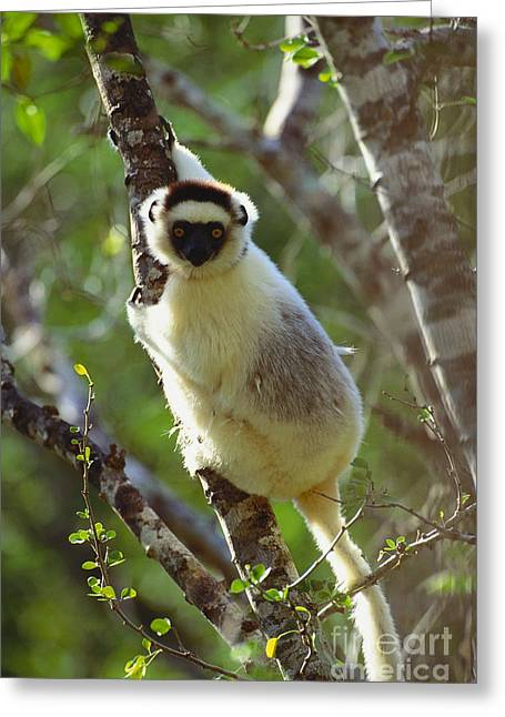 Sit-ins Greeting Cards - Verreauxs Sifaka Greeting Card by Art Wolfe