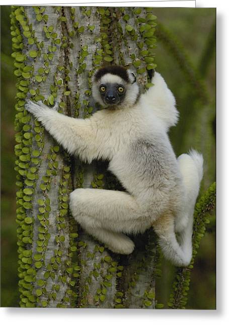 Berenty Private Reserve Greeting Cards - Verreauxs Sifaka On Fantsiolotse Greeting Card by Pete Oxford