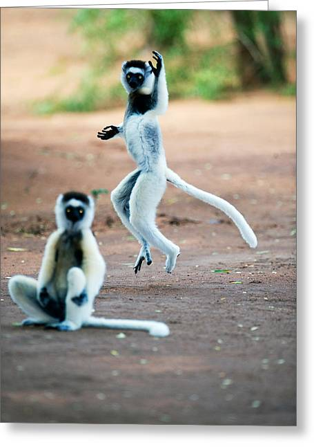 Mid-air Greeting Cards - Verreauxs Sifaka Propithecus Verreauxi Greeting Card by Panoramic Images