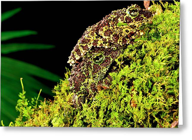 Vietnamese Mossy Frog, Theloderma Greeting Card by David Northcott