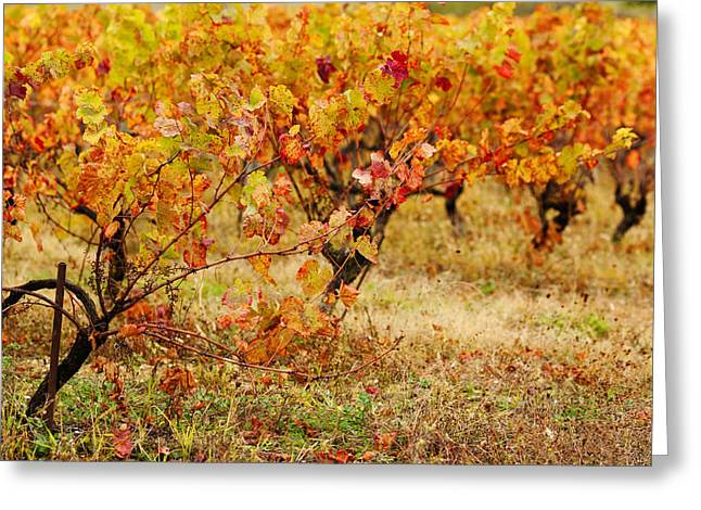 Midi Greeting Cards - Vineyard In Autumn, Gaillac, Tarn Greeting Card by Panoramic Images