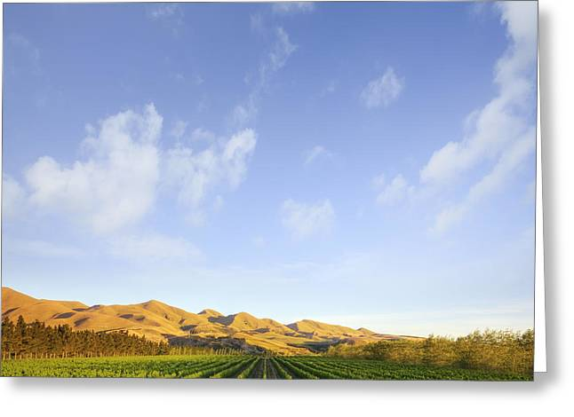 Grapevine Greeting Cards - Vineyard in Canterbury New Zealand Greeting Card by Colin and Linda McKie