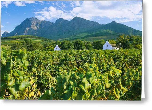 Cape Town Greeting Cards - Vineyard In Front Of Mountains Greeting Card by Panoramic Images
