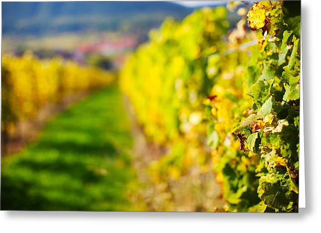 Alsace Greeting Cards - Vineyards In Autumn, Mittelbergheim Greeting Card by Panoramic Images