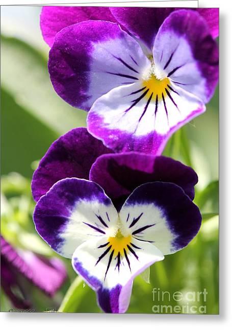 Sorbet Greeting Cards - Viola named Sorbet Blackberry Cream Greeting Card by J McCombie