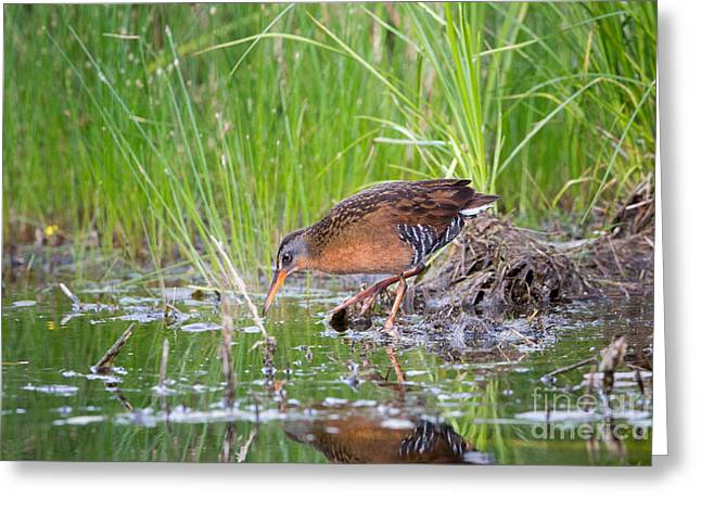 Secretive Birds Greeting Cards - Virginia Rail Rallus Limicola Greeting Card by Linda Freshwaters Arndt
