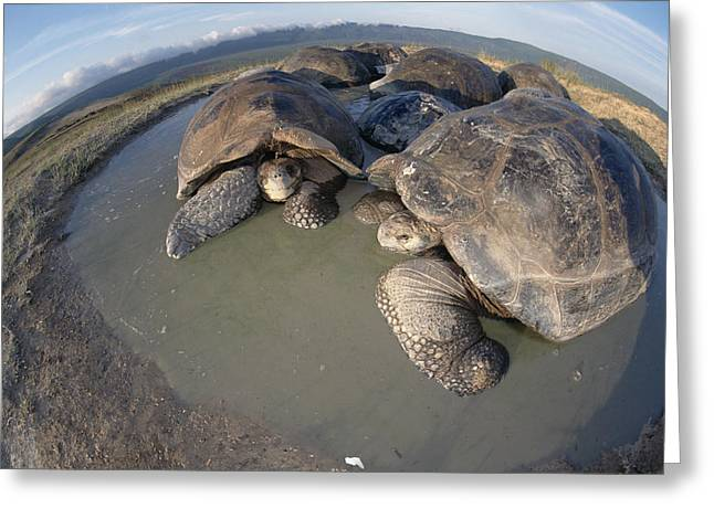 Volcan Alcedo Giant Tortoises Wallowing Greeting Card by Tui De Roy