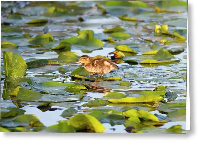 Wa, Juanita Bay Wetland, Mallard Duck Greeting Card by Jamie and Judy Wild