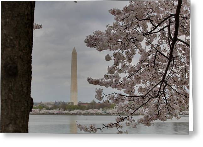Petals Greeting Cards - Washington Monument - Cherry Blossoms - Washington DC - 011314 Greeting Card by DC Photographer