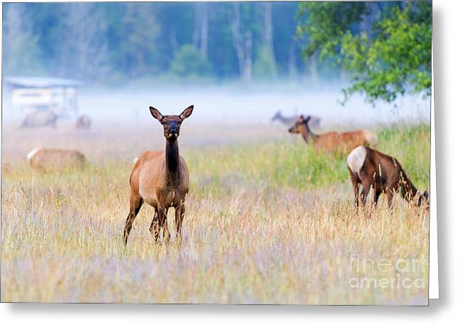 Elk Greeting Cards - Watchful Greeting Card by Mike Dawson