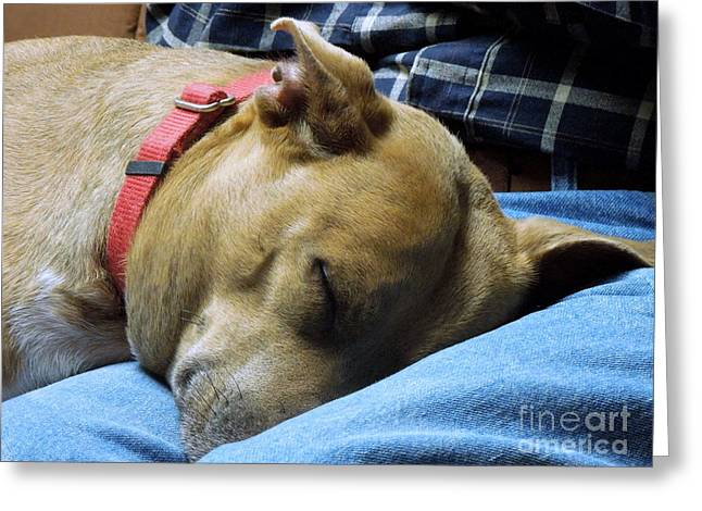 Apbt Greeting Cards - Watching TV Greeting Card by Renee Trenholm