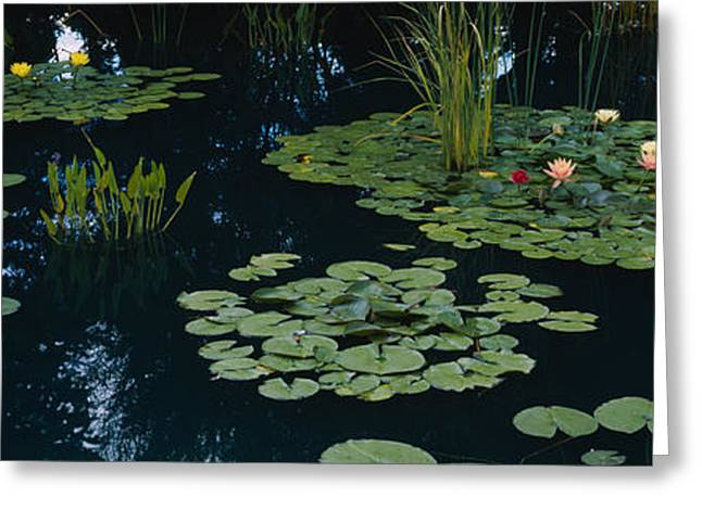 Water Plant Greeting Cards - Water Lilies In A Pond, Denver Botanic Greeting Card by Panoramic Images