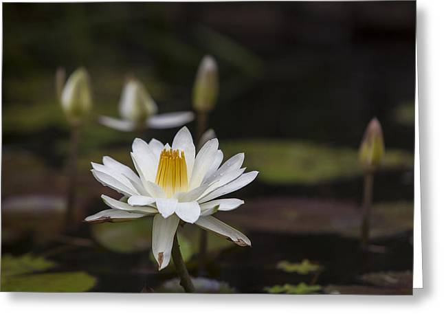 Water Lilly 6 Greeting Card by Charles Warren