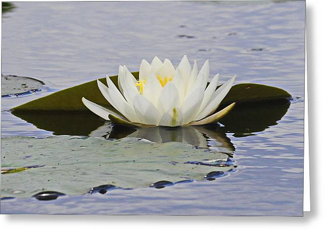 Lily Pads Greeting Cards - Water Lily 4 Greeting Card by Cathy Lindsey