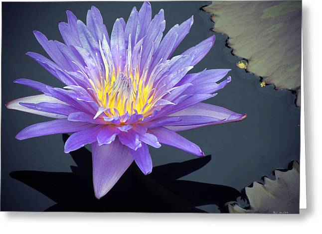 Lotus Full Bloom Greeting Cards - Water Lily Greeting Card by Ben Lavitt