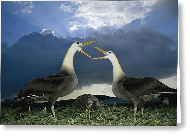 Wildlife Celebration Greeting Cards - Waved Albatross Courtship Dance Greeting Card by Tui De Roy