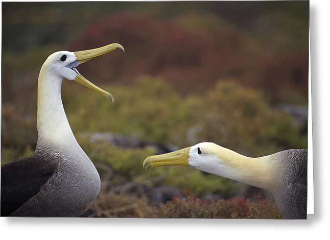 Wildlife Celebration Greeting Cards - Waved Albatross Courtship Display Greeting Card by Tui De Roy
