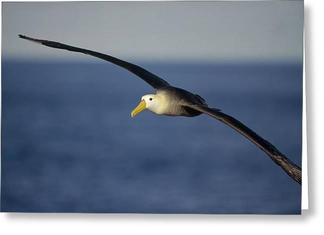 Waved Albatross Flying Galapagos Islands Greeting Card by Tui De Roy
