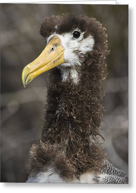 Waved Albatross Molting Juvenile Greeting Card by Pete Oxford
