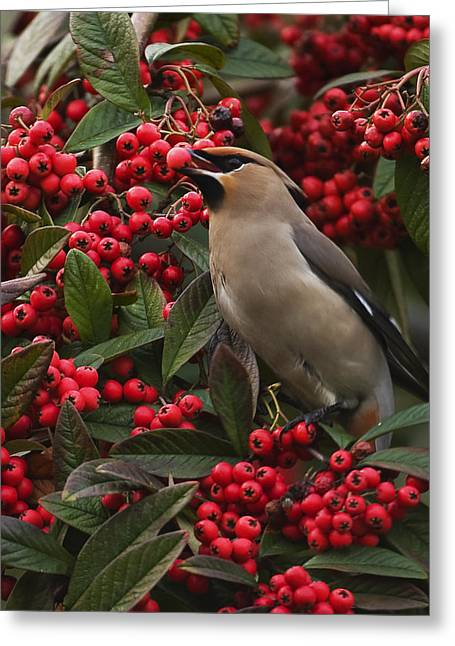 Scoullar Greeting Cards - Waxwing Greeting Card by Paul Scoullar