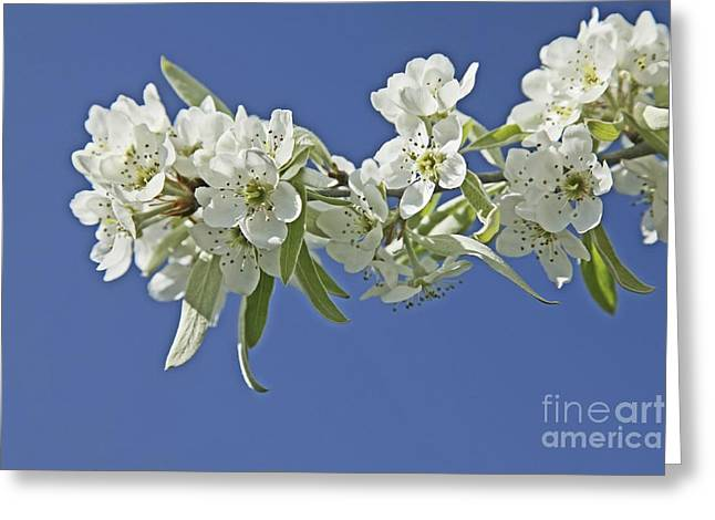 Weeping Greeting Cards - Weeping Pear Blossom Pyrus Salicifolia Greeting Card by Bjorn Svensson