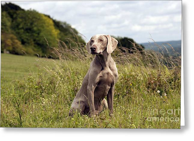 Weimaraner Dog Greeting Card by John Daniels