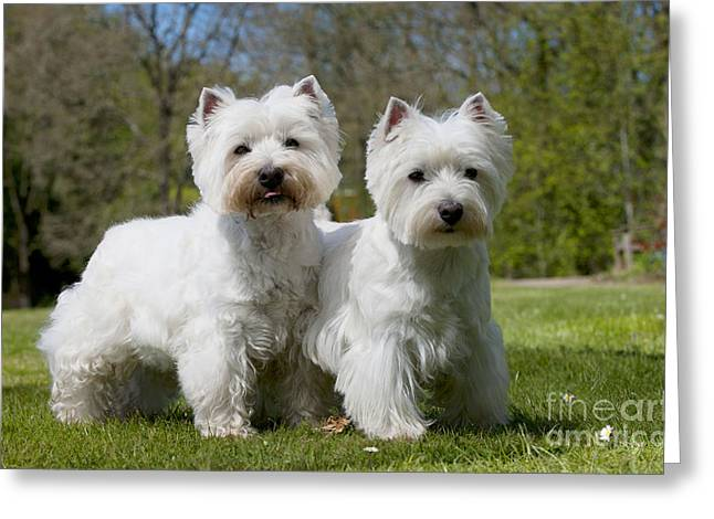 Best Friend Greeting Cards - West Highland White Terriers Greeting Card by John Daniels