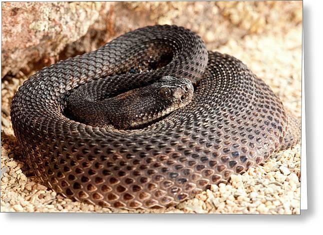 Western Diamondback Rattlesnake Greeting Card by David Northcott